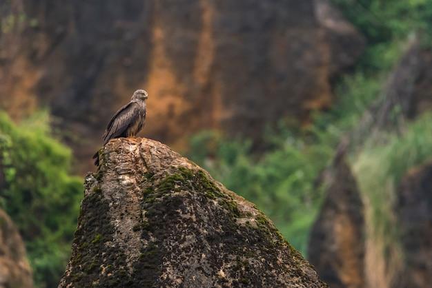 Royal kite perched on a rock