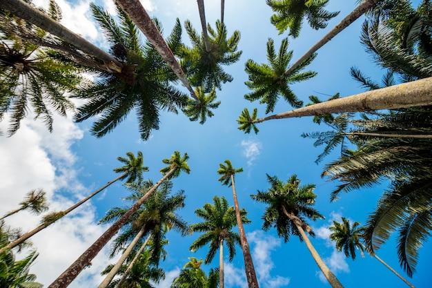 브라질 리우데자네이루의 아름다운 푸른 하늘과 함께 로열 야자나무 잎.