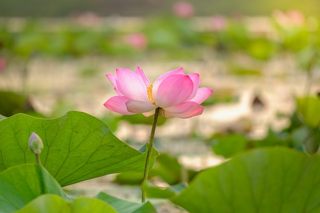 Royal pink lotus in the morning in the big lagoon