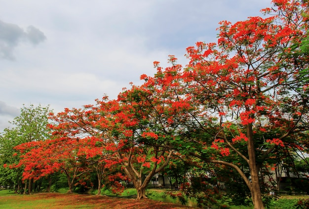 Royal poinciana red is beautifully blooming