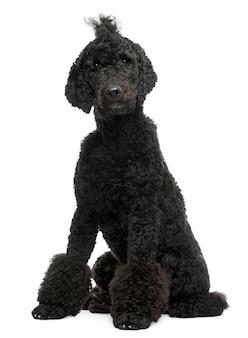 Royal poodle, 1 year old. dog portrait isolated