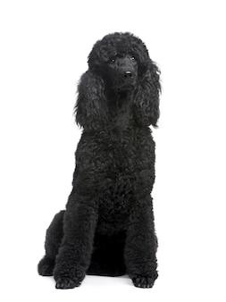 Royal poodle