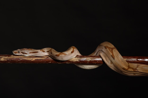 Royal python、またはball python python regius