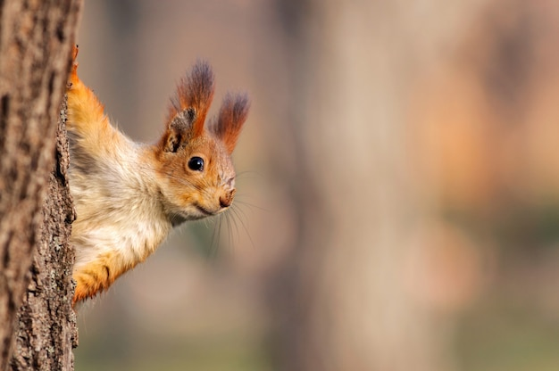 Rred squirrel peeks out from behind a tree