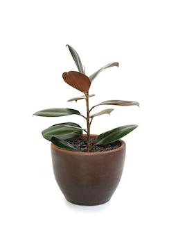 흰색 배경에 격리된 갈색 점토 냄비에 고무 식물(ficus 탄성 식물). 현대 집 식물입니다. 클리핑 패스가 있는 이미지