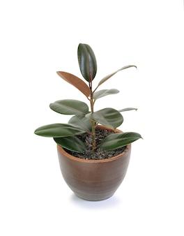 흰색 배경에 고립 된 갈색 항아리에 고무 식물 (ficus 탄성 식물)