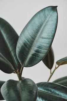 灰色の背景にゴム植物の葉