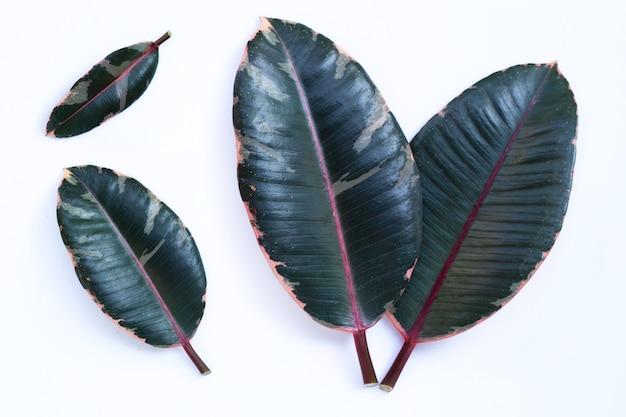 고무 식물은 흰색 바탕에 나뭇잎.