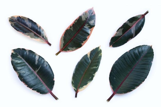 화이트에 고무 식물 잎