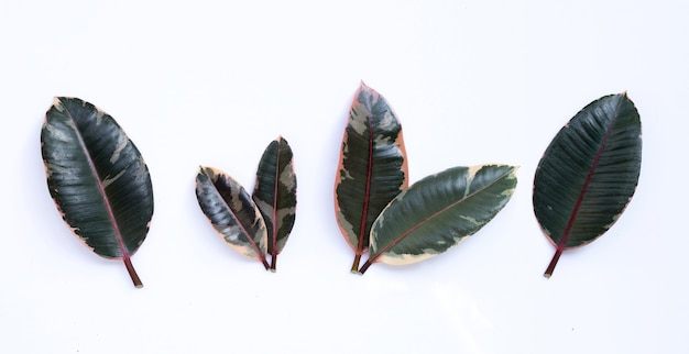 Rubber plant leaves on white wall.