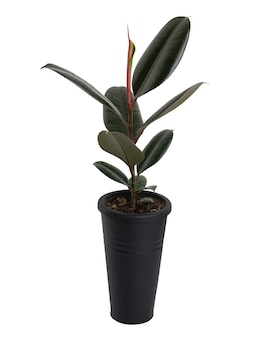 Rubber plant orficus elastica  in modern  black long flower pot isolated