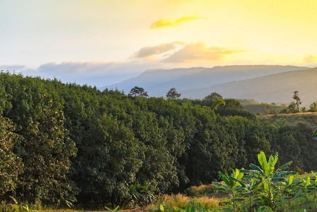 山の夕日の天然ラテックスの木のためのゴムの木農業アジアとゴム農園