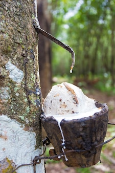 Rubber tapping from rubber tree by planters in southern of thailand they collect latex