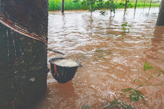 農業の庭のゴムの木と大洪水