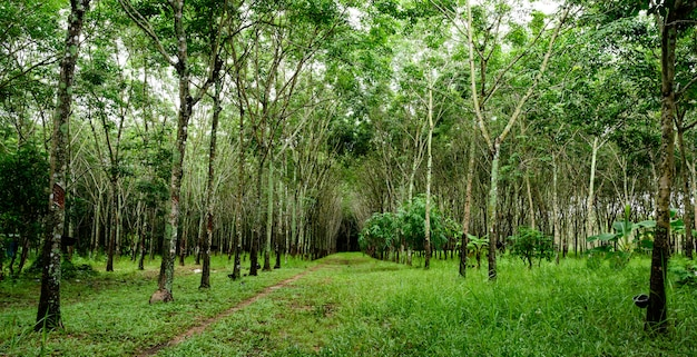 Rubber tree forest, rubber latex extracted from rubber tree, harvest in thailand.