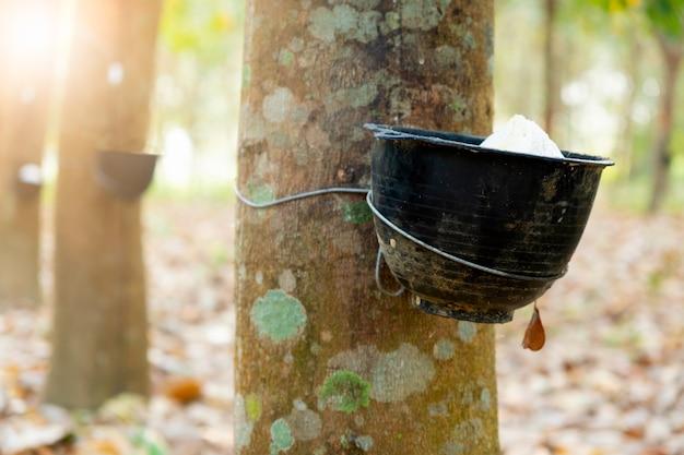 Сад каучуковых деревьев в азии. натуральный латекс, полученный из паракаучуковых растений. черный пластиковый стаканчик используется для измерения количества латекса из дерева.