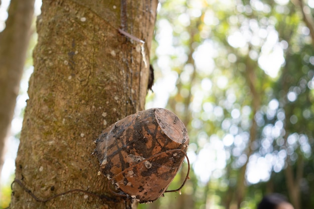 Rubber tree (hevea brasiliensis) produces latex. by using knife cut at the outer