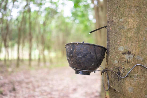 Rubber tree (hevea brasiliensis) produces latex.