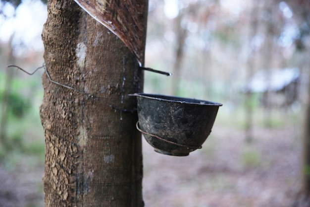 The rubber tree is screamed for latex tapping black plastic pot