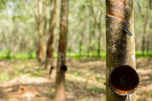 Rubber tree plant in south of thailand.