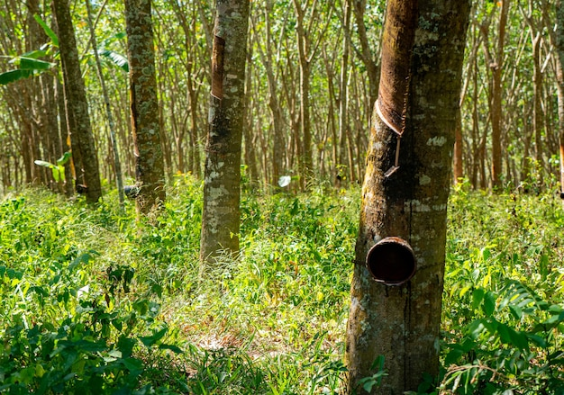 Rubber tree plantation agriculture in natural wild