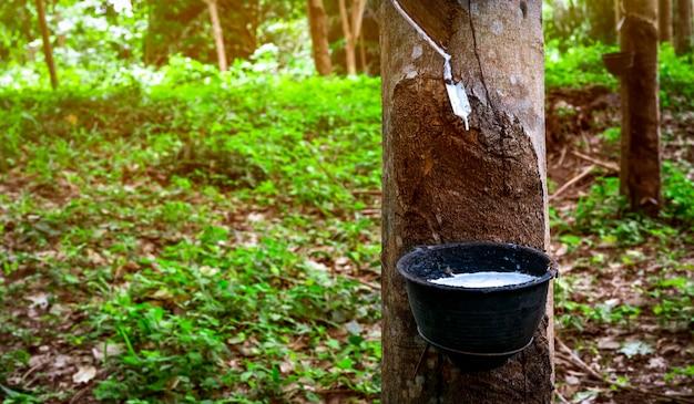 Плантация каучукового дерева. резина выстукивать в саде резинового дерева в таиланде. натуральный латекс добывается из паракаучукового растения. латекс собирать в пластиковый стаканчик. латексное сырье.