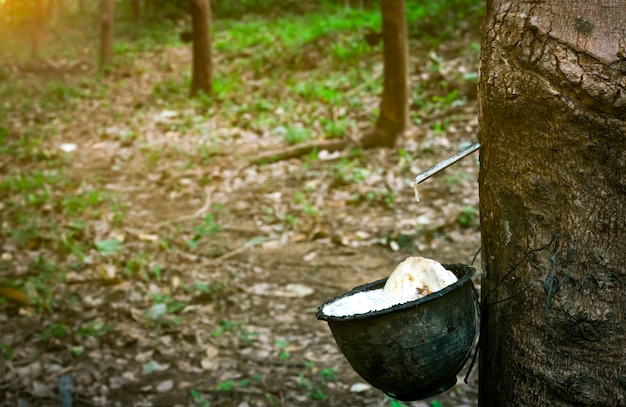 Rubber tree plantation. rubber tapping in rubber tree garden in thailand. natural latex extracted from para rubber plant. latex collect in plastic cup. latex raw material.