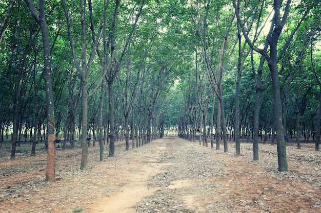 Rubber tree of plantation.