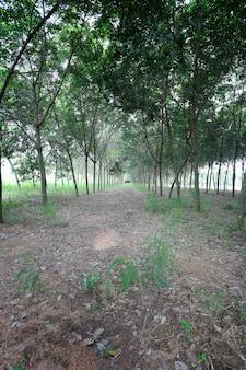 Rubber tree of plantation.