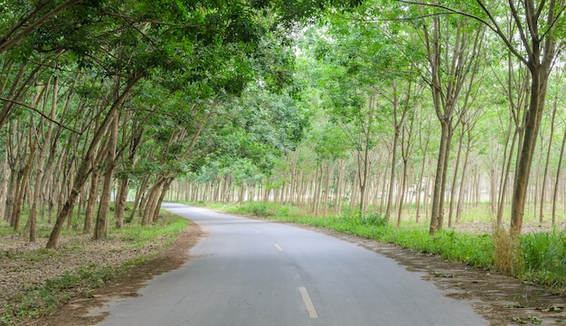 Rubber tree tunnel on the road