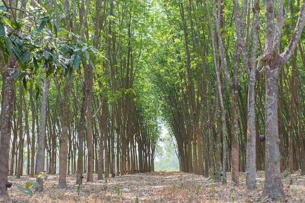 Rubber trees