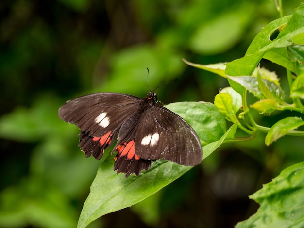 The ruby-spotted swallowtail or red-spotted swallowtail