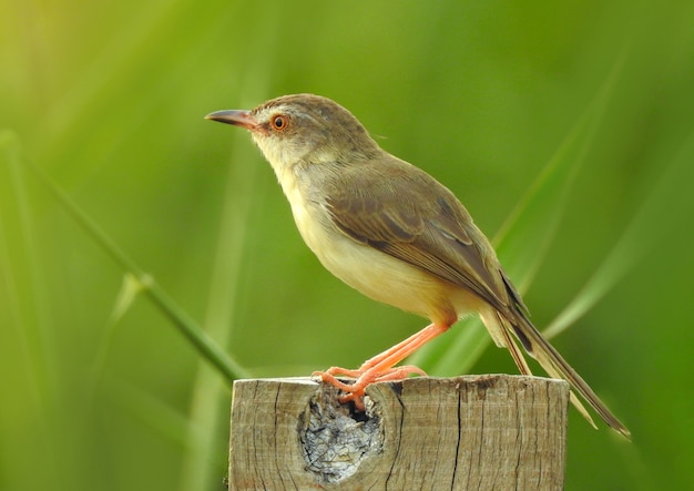 切り株の上に立ってシベリアrubythroat鳥の美しい