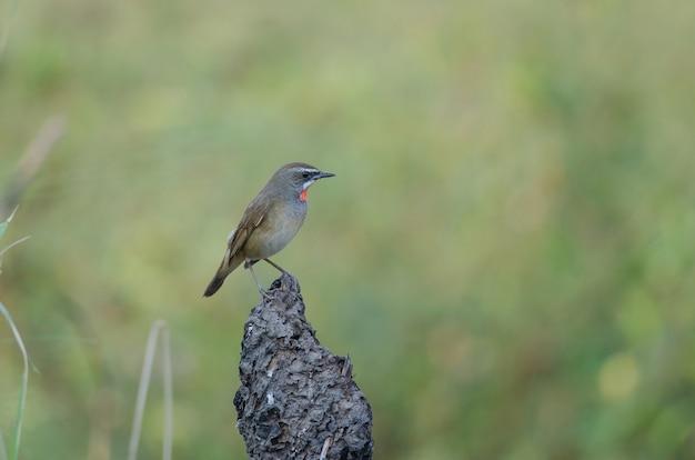 シベリアrubythroat鳥の美しい