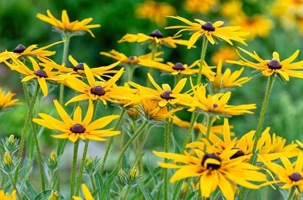 Рудбекия (rudbeckia fulgida) в летнем саду. цветочный фон из желтых ромашек.