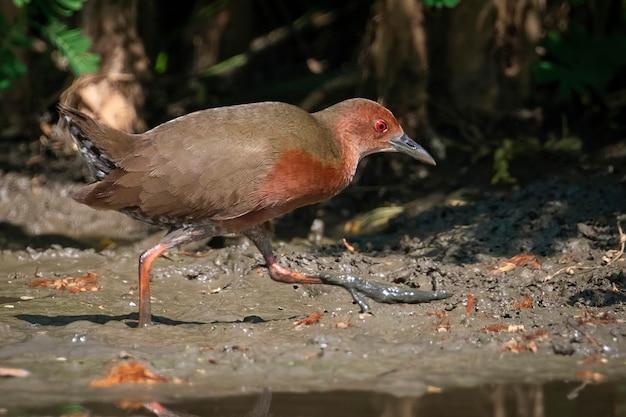 Рыжеволосая крек-птица (porzana fusca) ищет пищу на болоте. птица. животные.