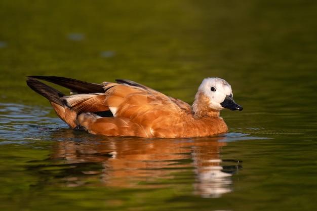 Ruddy shelduck, 한 마리의 새가 호수에서 수영합니다. tadorna ferruginea.