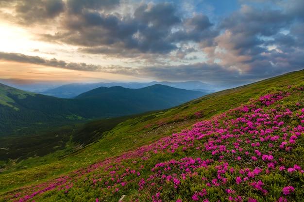 緑の芝生と霧の丘と劇的な雲の空との距離でカルパティア山脈の山の斜面に咲くピンクのシャクナゲrue花の美しい景色。自然概念の美しさ。