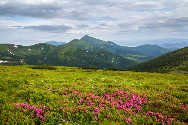 緑の芝生と霧の丘と劇的な雲の空との距離でカルパティア山脈と山の斜面に咲くピンクのシャクナゲrue花の美しい景色。自然概念の美しさ。