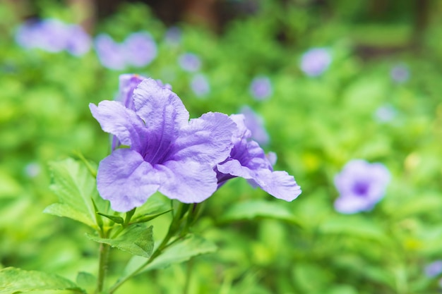 Ruellia tuberosa flower background