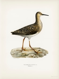 Ruff female (philomachus pugnax) illustrated by the von wright brothers.