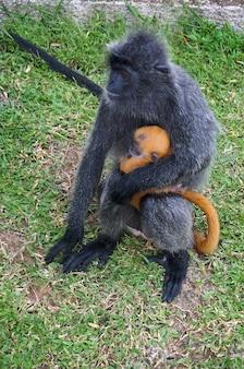 Ruffed encotel - 아기와 함께 앉아 있는 희귀한 검은 원숭이
