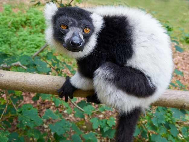 Ruffed lemur from madagascar portrait
