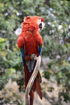 나무에 앉아 있는 그의 목에 펄럭이는 보풀이 있는 깃털.
