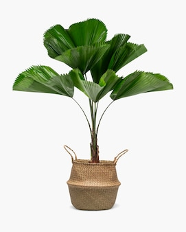 籐のバスケットの波立たせられた葉のヤシの植物
