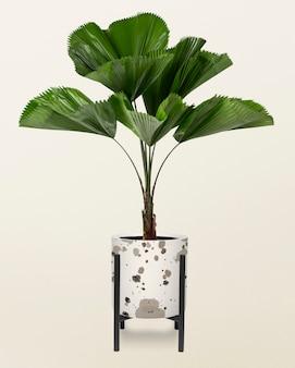 냄비에 프릴 잎 식물