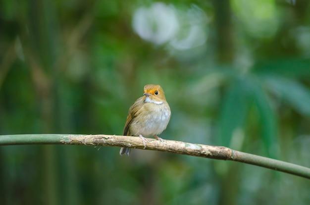 Rufous-browed flycatcher(ficedula solitaris)、ブランチ