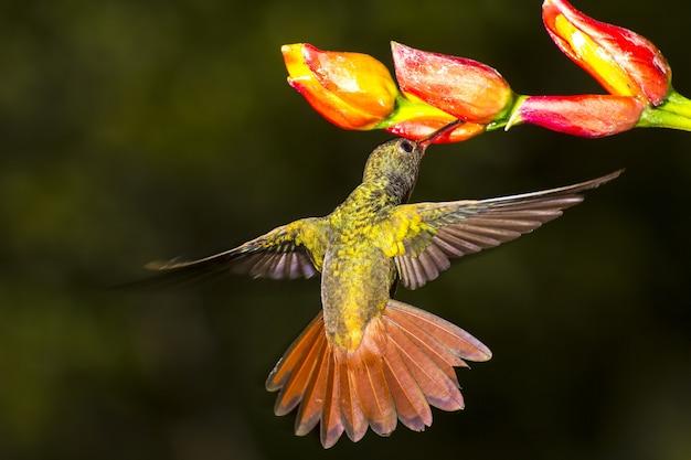 Rufous 꼬리 벌새, amazilia tzacatl nectaring