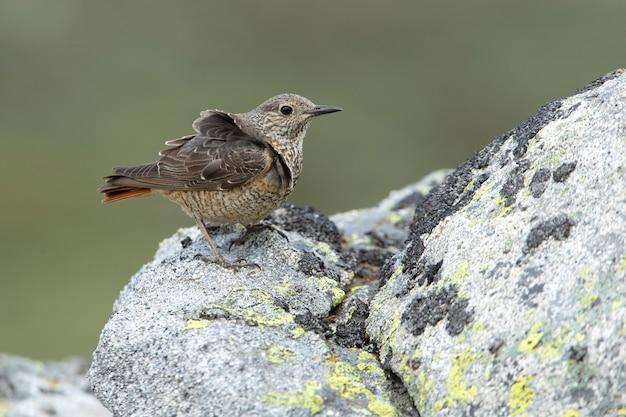 Самка каменного дрозда с первыми лучами рассвета на территории размножения
