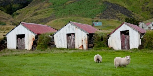 언덕에 견고한 녹슨 농장 헛간과 양